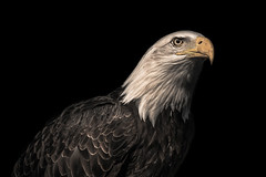 Bald Eagle (Ray Moloney Photography) Tags: ifttt 500px yellow portrait bird white eye black wildlife feathers feather predator eagle hawk falcon raptor bald prey majestic beak vulture falconry