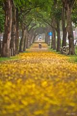 黃金雨 (阿勃樂) - Falling Cassia Fistula - Golden shower tree - Xing Da Road, Taichung City (prince470701) Tags: 黃金雨 阿勃樂 fallingcassiafistula goldenshowertree sonya99 sigma70300mm 台中市 taichungcity taiwan