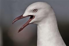 Silver gull (natalia.bird_nerd) Tags: headshot bird gull silvergull shorebird beach sorrentobeach australia