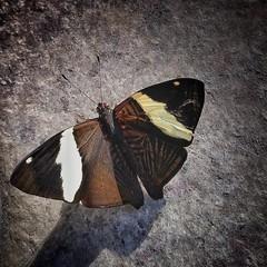 #zenfone3 #borboletas #snapseed (Sithluke3) Tags: borboletas zenfone3 snapseed