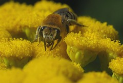 Colletes fodiens f - 07 VII 2017 (el.gritche) Tags: hymenoptera france 40 garden colletidae colletesfodiens asteraceae tanacetumvulgare female