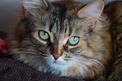 Le chat de Mélanie (jlp771) Tags: cat chat yeux eyes green vert canon powershot sx50