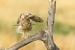 Burrowing Owl (just4memike) Tags: bird wildlife blurredbackground burrowing feather grass owl owlet raptor talon wing canon 7d mark ii f4 400 do ef 500 f40 l is