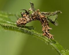 wavy-lined emerald (crgillette77) Tags: pennsylvania bradfordcounty pisgah caterpillar wavylinedemerald camouflagedlooper synchloraaerata