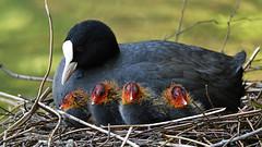 aller guten Dinge sind vier (karinrogmann) Tags: blässhuhn ralle küken eurasiancoot chicks folaga pulcini