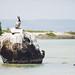 Brown Pelican - Isla Espiritu Santo