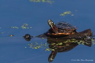 Painted Turtle ©