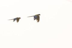 Great Green Macaw (J.B. Churchill) Tags: birds comandanciadesarapiquíroad costarica ggma greatgreenmacaw heredia parrotsparakeets places taxonomy puertoviejo cr laselva