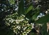Toyon flowers II (Jeff Goddard 32) Tags: wildflowers midlandschoolproperty santabarbaracounty california toyon heteromelesarbutifolia