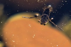 From another planet ! (Knutsfordian) Tags: notonecta glauca water boatman pond bug pondlife backswimmer