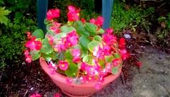 Begonia! (Maenette1) Tags: begonia plant pink flowers pot backyard menominee uppermichigan flickr365