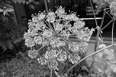 Clusters (dhcomet) Tags: london plant dead dried seed head cluster pancras square