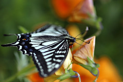 Swallowtail Butterfly (Johnnie Shene Photography(Thanks, 2Million+ Views)) Tags: swallowtailbutterfly swallowtail butterfly oldworldswallowtail papiliomachaon papilio nature natural wild wildlife perching resting awe wonder fulllength depthoffield feeler sideview wings limbs insect bug livingorganism tranquility adjustment animal photography horizontal outdoor colourimage fragility freshness nopeople foregroundfocus vivid sharpness bokeh spring day daylight shape korea asia interesting lepidoptera peace highangle canon eos80d 80d 호랑나비 산호랑나비 나비 곤충 접사 매크로