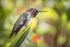 Male Anna's Hummer  [In Explore 7/13/17] (helenehoffman) Tags: conservationstatusleastconcern bird sandiegozoo pollinator aves hummingbird calypteanna animal annas
