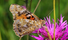 Painted Lady 130717 (7) (Richard Collier - Wildlife and Travel Photography) Tags: wildlife naturalhistory insects butterflies british macro closeup paintedladyvanessacardui ngc