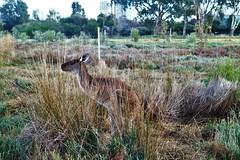 Kangaroo - Profile view (Val A[d]venture) Tags: valadventure valaventure adventure aventure australie aussie oz westernaustralia perth canon eos eosm3 backpacker voyageur trip wildlife nature animaux fauneetflore roo kangaroo kangourou
