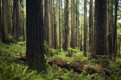 Redwoods (gwendolyn.allsop) Tags: redwoods california trees old tall big large nature ferns d5200 green