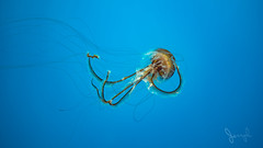 Jelly Fish (Bo_Ya3GooB) Tags: color nature blue ocean animal wildlife underwater jellyfish squid invertebrate desktop m43 mft em5ii