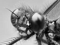 Damselfly (pen3.de) Tags: wildlife tier insekt libelle portrait prachtlibelle natur schwarzweis makro penf focusbkt facettenaugen fühler details haarig