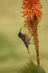 Honingzuiger, suikerbekkie (Elszy) Tags: nectariniidae honingzuiger suikerbekkie bird sunbird greatcollaredsunbird southafrica vogel voël color red nature garden flower