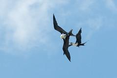Dogfight 2 (_quintin_) Tags: kiluaea point frigate bird hawaii kauai fight animal