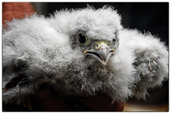 You've ringed me, now let me go (Kirsten Osa) Tags: albury england unitedkingdom gb kestrel chick