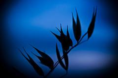 Empty pods over blue (Ignacio M. Jiménez) Tags: macromondays siluetas silhouettes ignaciomjiménez azul blue vainas pods ubeda jaen andalucia andalusia españa spain 7dwf