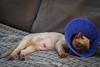 IMGP2910 (Steve Axt) Tags: jaythecat burmesecat burmese hernia cat