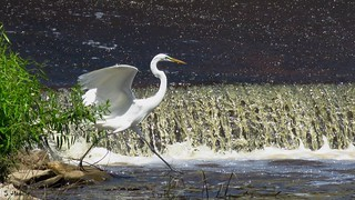 Great Egret - Ready to Launch