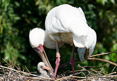 Jonge lepelaar (ditmaliepaard) Tags: lepelaar vogel bird safaripark beeksebergen hilvarenbeek a6000 sony nest ngc
