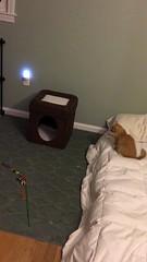 IMG_6539 (mary2678) Tags: tewksbury massachusetts ma kitty kitten cat maine coon chele kvothe