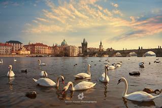 Prague Swans of the Vltava River