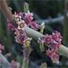 Candelilla Blossoms