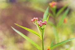 (Lupita Campos) Tags: flowers flower little nature green naturaleza flores miniatura pequeñas bokeh background pink nikon d3100 35mm f18