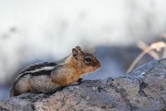 Golden-mantled Ground Squirrel (Minder Cheng) Tags: sierravalley goldenmantledgroundsquirrel beckwourth california unitedstates us