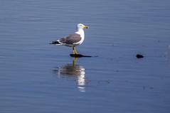 Lesser black-backed gull / Sílamáfur (Larus fuscus) (thorrisig) Tags: 04052017 bakkatjörn dýr fuglar máfur mávur sílamáfur sílamávur speglun iceland island icelandicbirds íslenskirfuglar thorrisig þorrisig thorfinnursigurgeirsson thorri thorfinnur þorfinnur þorri þorfinnursigurgeirsson sigurgeirsson sigurgeirssonþorfinnur dorres birds bird seagulls lesserblackbackedgull larusfuscus