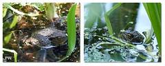 Frosch im Gartenteich (Erdkröte) (peterphot) Tags: frosch natur teich garten juni leica