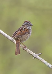 Swamp Sparrow (mandokid1) Tags: canon 1dx canon7dmk11 ef400mmdo birds sparrows shorebirds