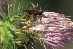 Laying - 28 VI 2017 (el.gritche) Tags: hymenoptera france 40 garden braconidae braconurinator bracon urinator female behavior laying cirsium heterocordylus heteroptera