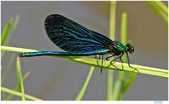 Blauflügel-Prachtlibelle (Lutz Koch / away) Tags: blauflügelprachtlibelle calopteryxvirgo beautifuldemoiselle libelle dragonfly rovar insekt insect natur nature természet idstein idsteinerland taunus elkaypics lutzkoch wörsbach inexplore explore explored