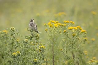 Graspieper - Meadow pipit
