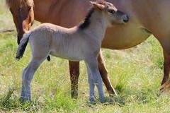 So Cute (ivlys) Tags: messel weide meadow pferd horse fohlen foal tier animal natur nature ivlys
