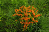Butterfly Weed (bp200mm) Tags: driftless butterflyweed