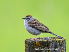chipping sparrow (Pattys-photos) Tags: chipping sparrow pattypickett4748gmailcom pattypickett