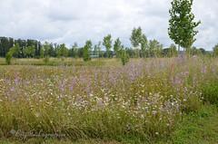 """La grande prairie (Brigitte .. . """"Tatie Clic"""") Tags: 201306221 juin été paysage pré prairiefleurie arbre fleur floresauvage lotetgaronne sansretouche aquitaine francesudouest"""