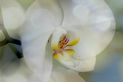 Zen Orchid for Macro Mondays (Wim van Bezouw) Tags: macromondays flower orchid bokeh relaxation sony ilce7m2
