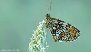 Melitaea athalia - A Heath Fritillary Butterfly (Nymphalidae)