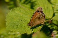 Meadow Brown (Martin F Hughes) Tags: butterfly devon dartmoor martin hughes canon 7d wildlife meadow brown