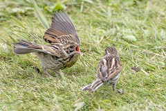 Reed Buntings (Juvenile & Adult) (Females) (Emberiza Schoeniclus) (CentricMalteser) Tags: july2017 july 2017 bird birds kingsdykenaturereserve kingsdyke kingsdykereserve whittlesey peterborough cambridgeshire wildlifeanimal wildlife animal animals wildlifeanimals matthewfarrugia matthew farrugia centricmalteser canon7dmkii canon 7d mkii eos7dmkii 7dmkii canoneos7dmkii eos canoneos reedbunting emberizaschoeniclus reed bunting emberiza schoeniclus