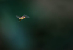 an insect in fly (Angelo Petrozza) Tags: insect insetto volo stop fly bee ape pentaxk70 angelopetrozza
